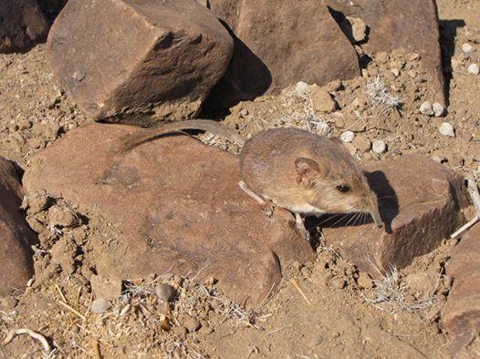 الاســـم:tikus gajah1.jpg المشاهدات: 278 الحجـــم:57.1 كيلوبايت